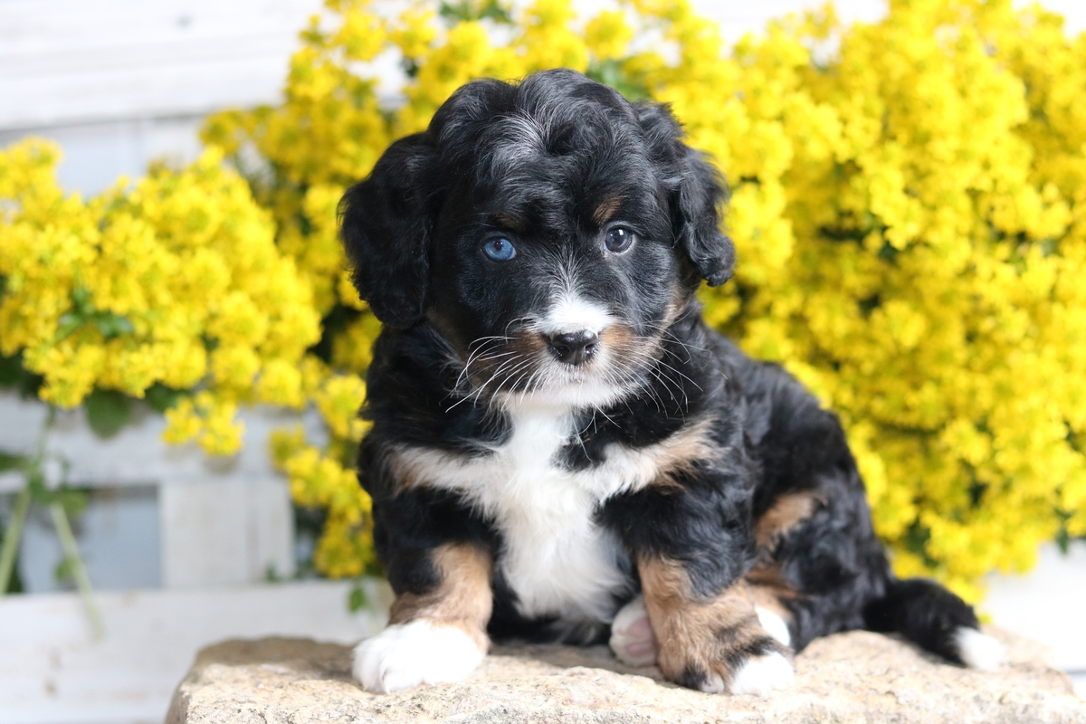 blue eye bernedoodle
