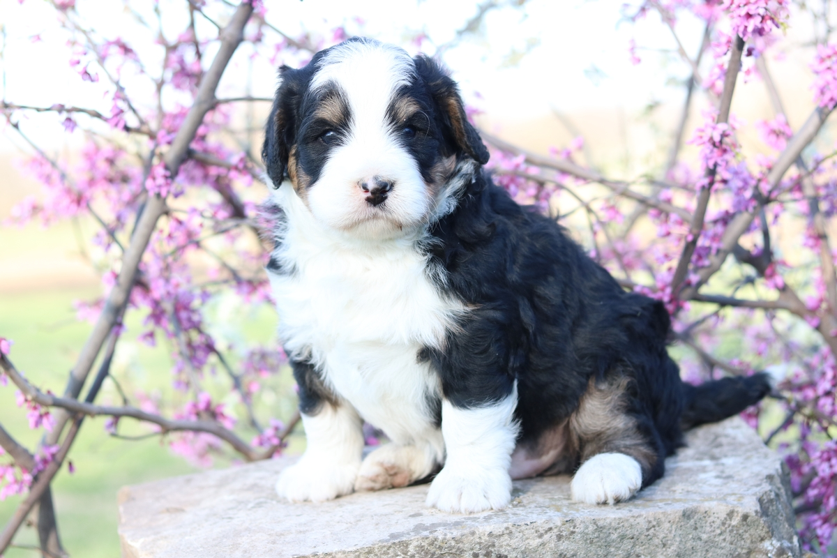 tri color mini bernedoodle breeders