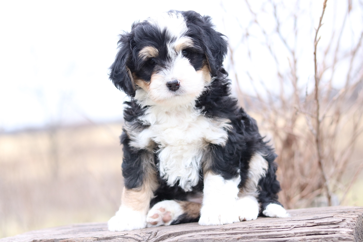 bi color, mini bernedoodle picture
