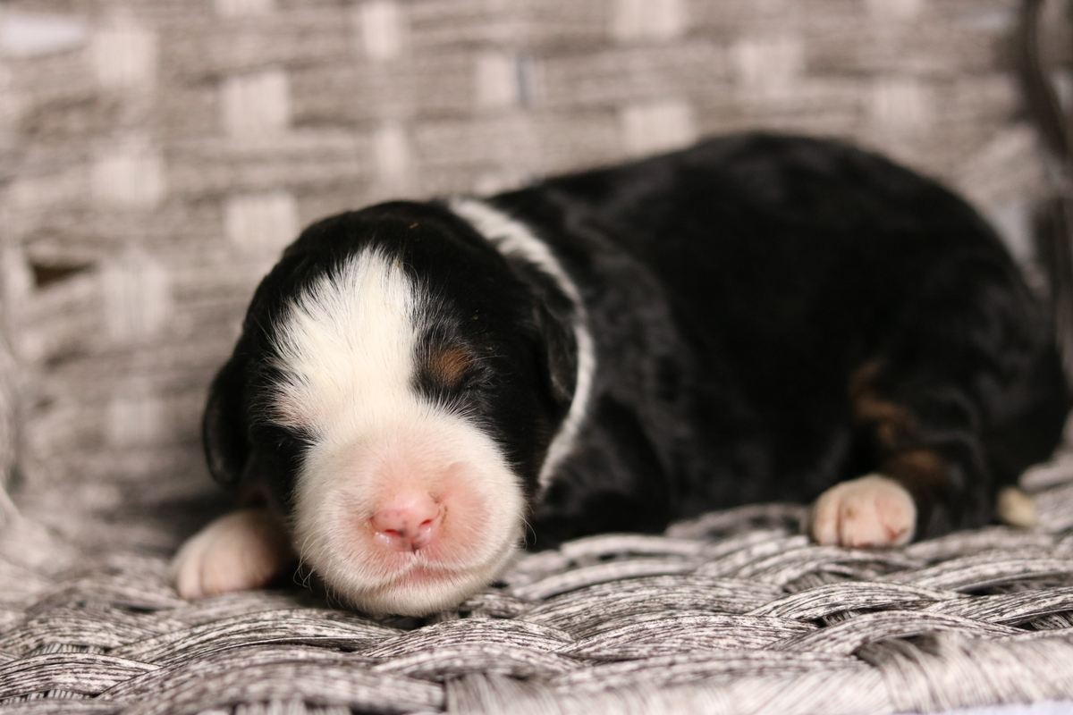 adopt mini bernedoodle puppy