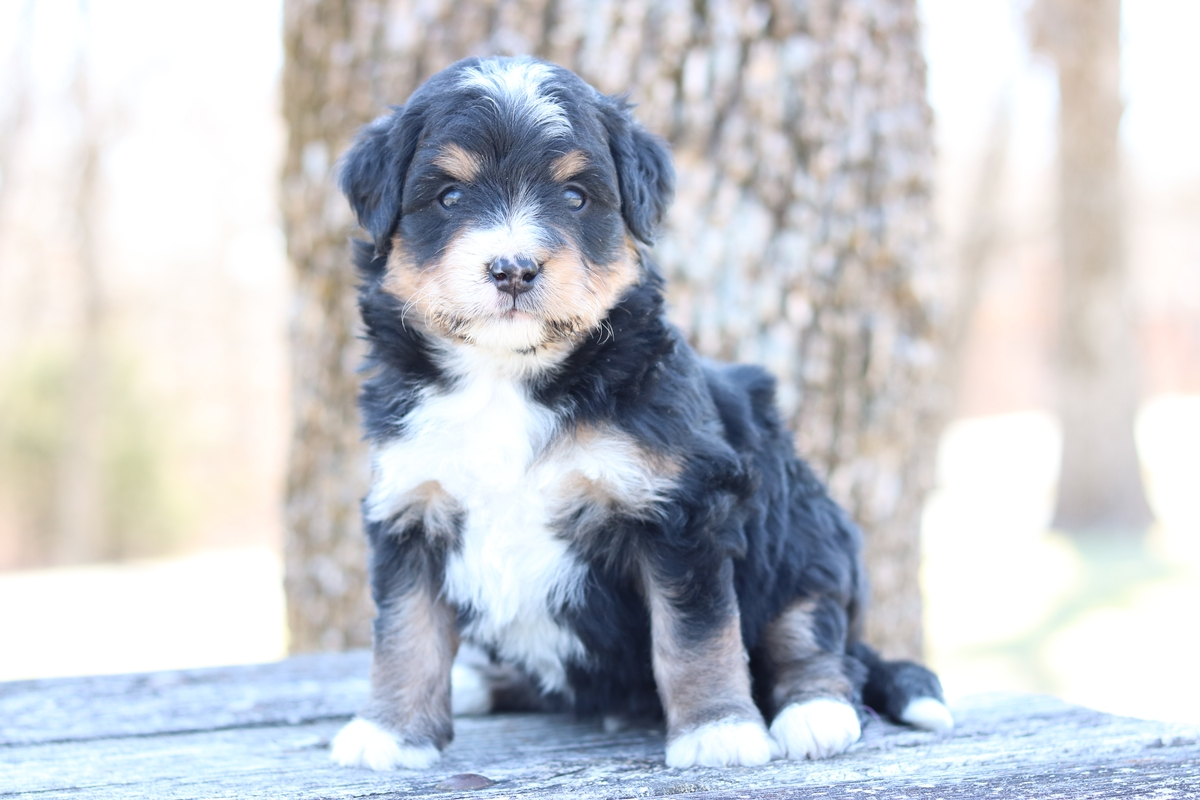 bernese mountian dog, poodle cross puppies