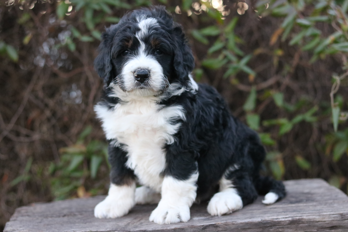 how large is Standard bernedoodle photo