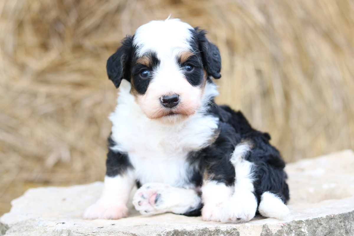 micro mini-tri color- Bernedoodle-puppy