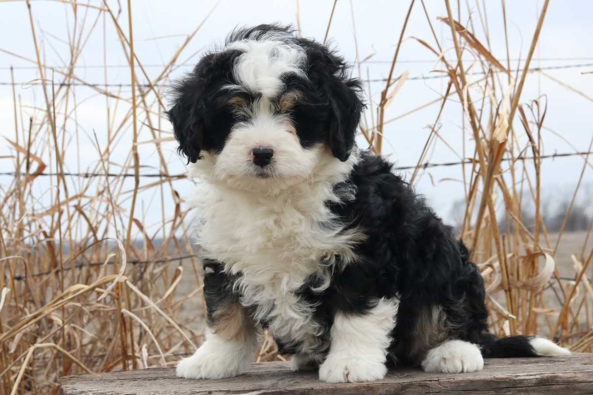 Bernedoodle Dogs For Sale