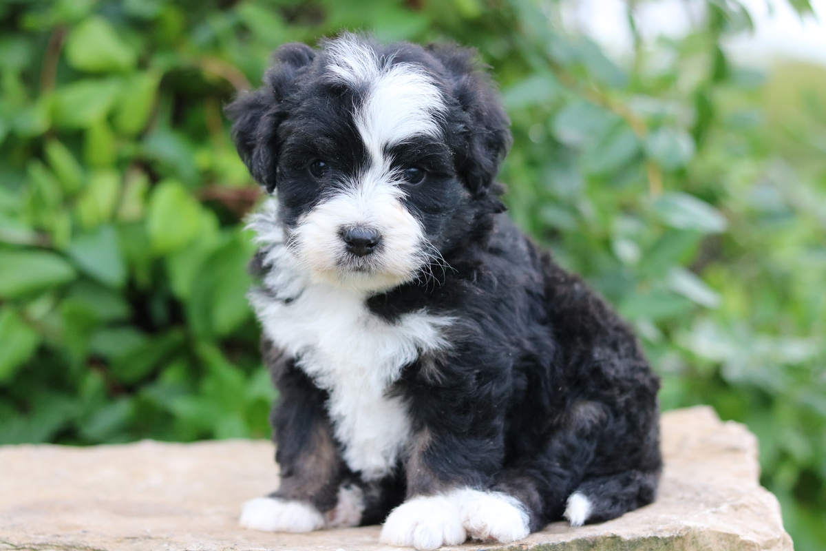 tri color mini bernedoodle puppies