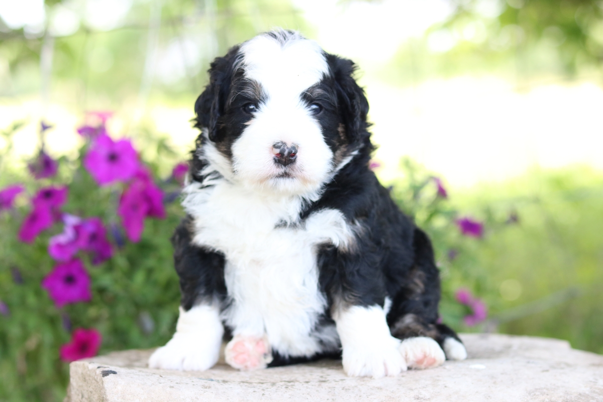 micro mini bernedoodle f1B , first generation backcross