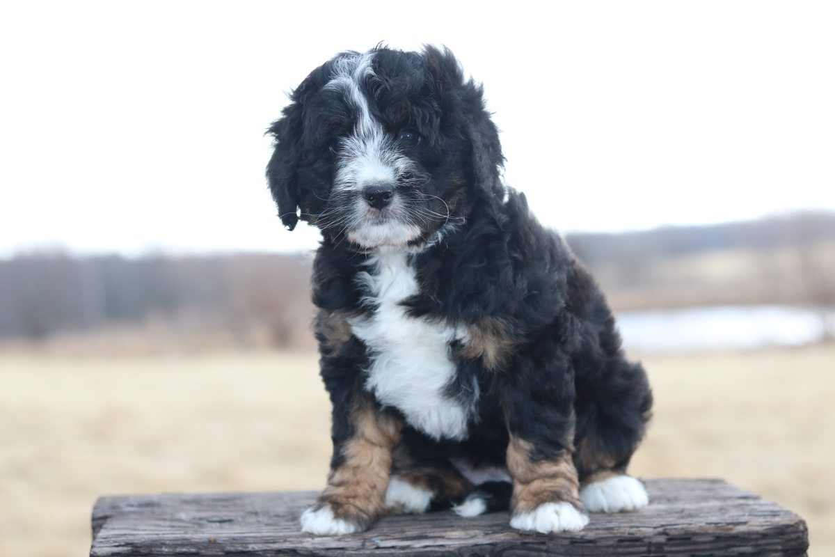 mini bernedoodle girl