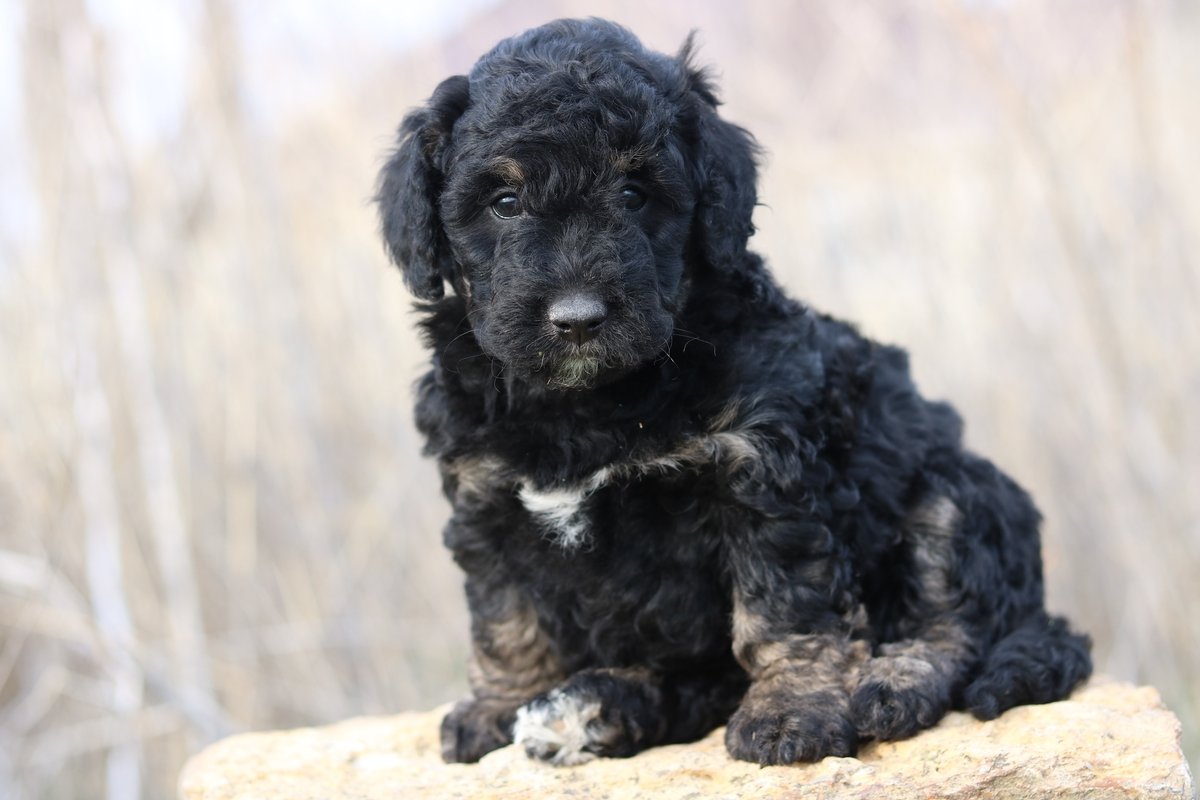 F1b Mini Bernedoodle Puppies For Sale
