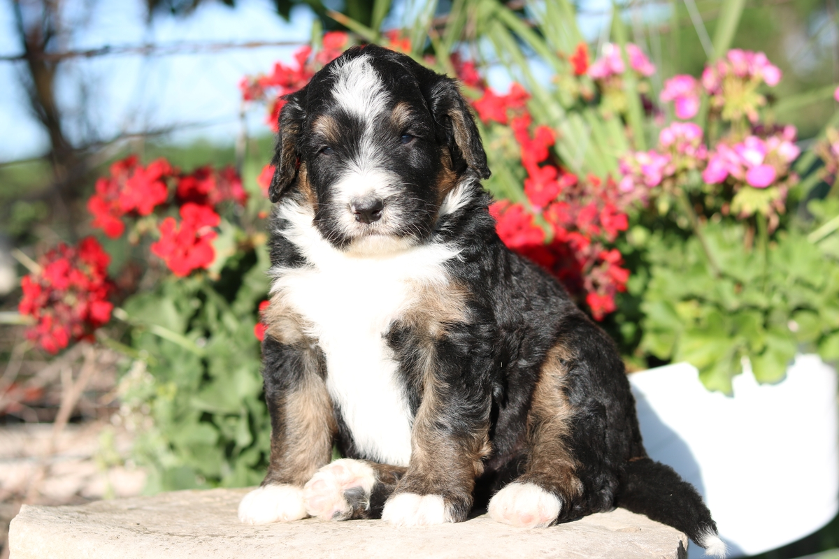 tri color ,standard bernedoodle puppies