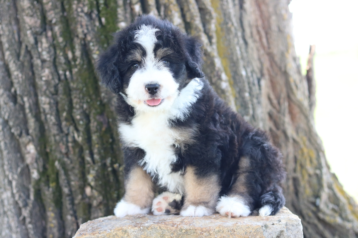 mini bernedoodle puppies foresale