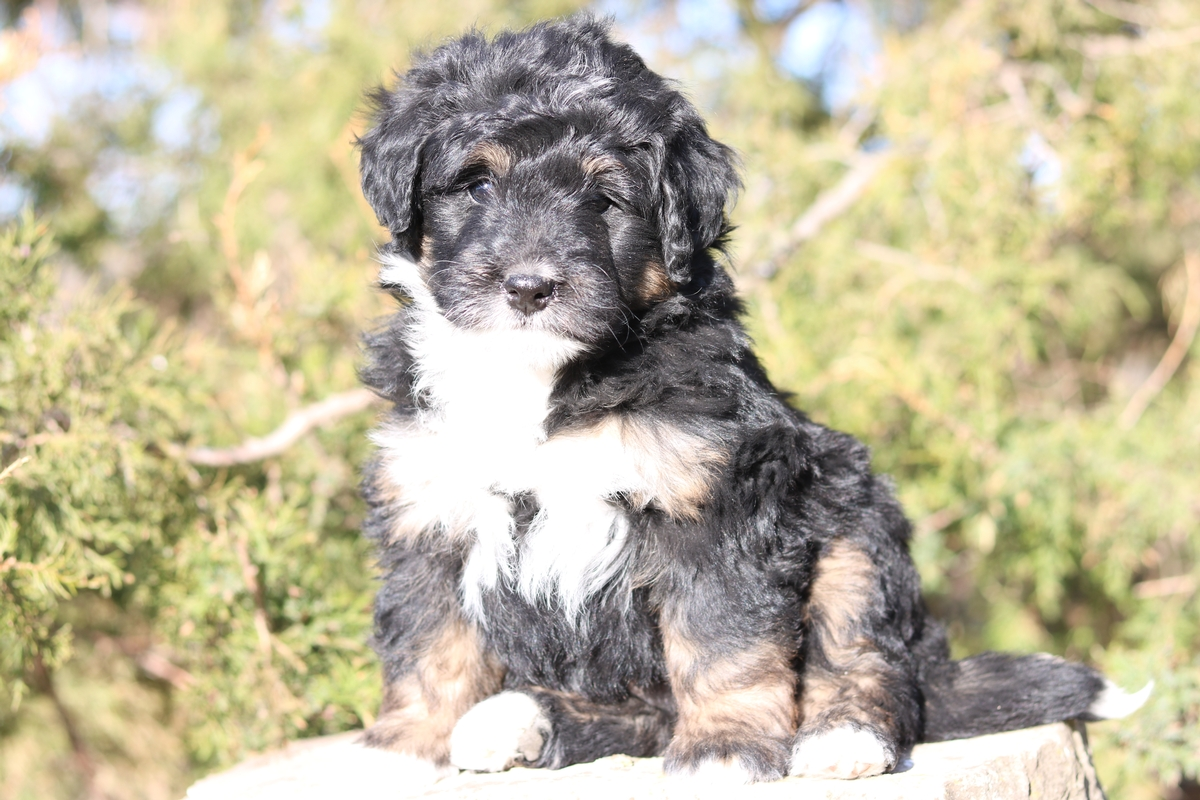 black tri color mini bernedodle puppy available