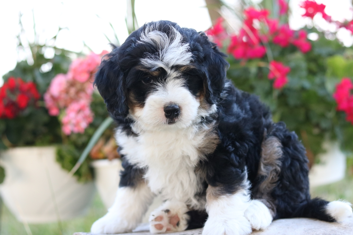 photos of mini bernedoodle puppies