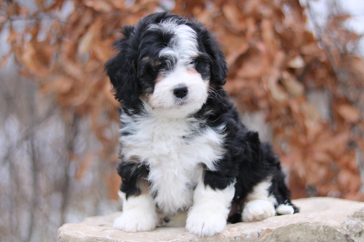 bernadoodle puppies