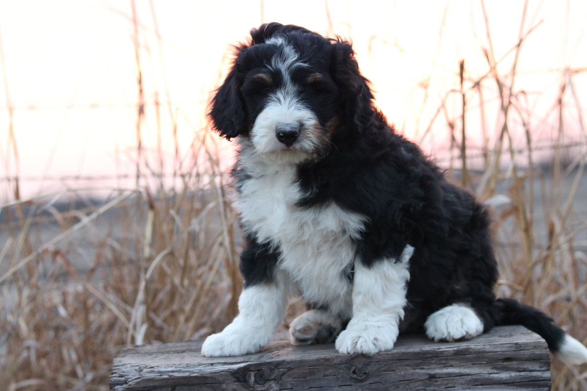 bi color bernedoodle puppies