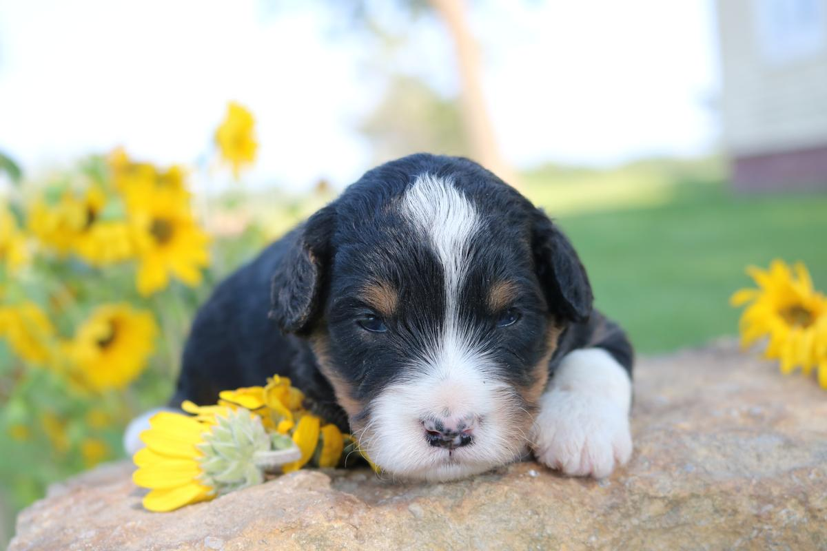 tri color bernedoodle puppies