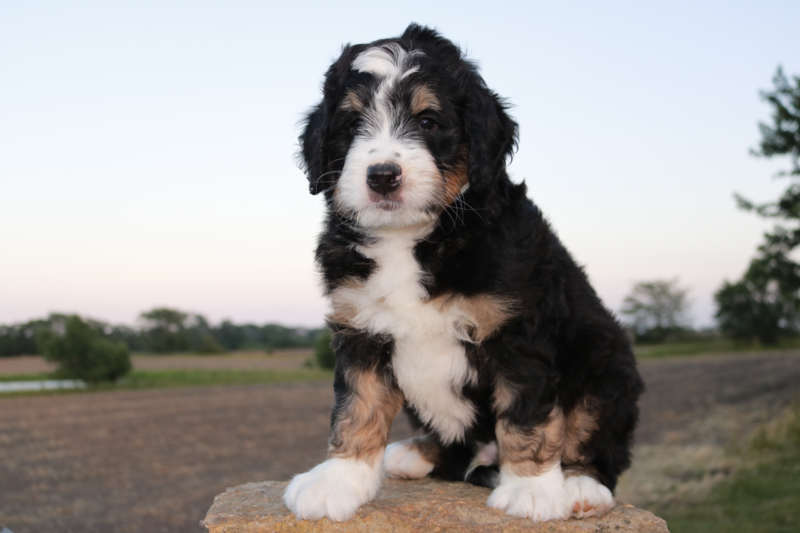 Bernese Dogs For Sale