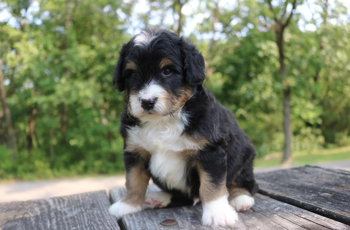 traditional black tri mini bernedoodle