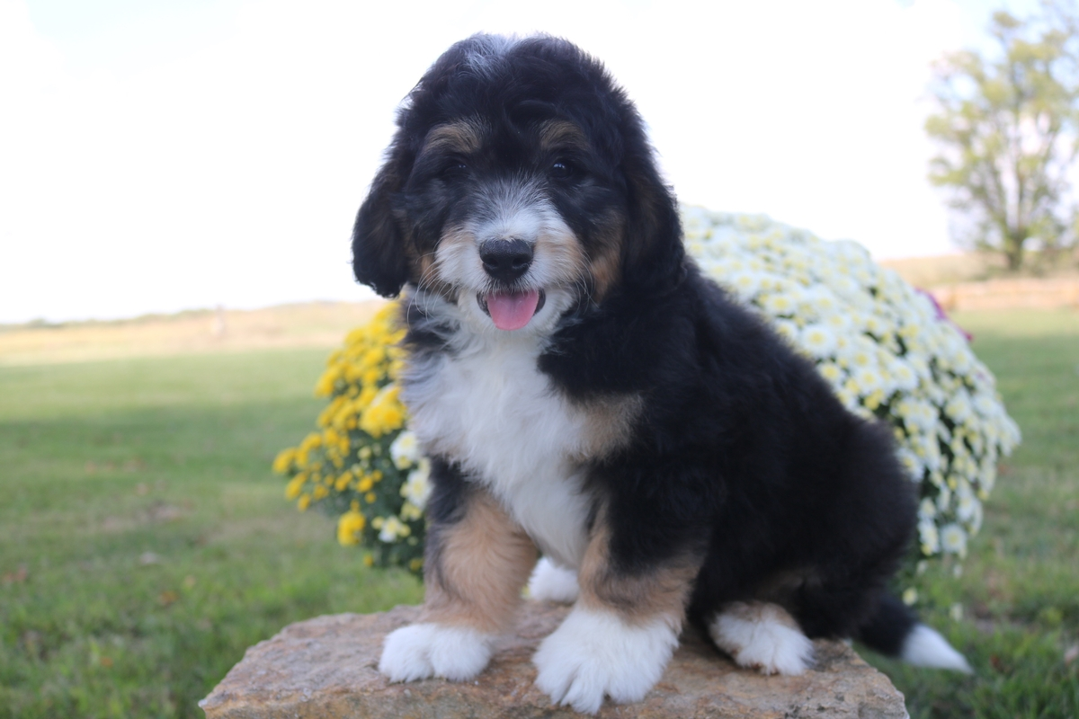 tri color mini bernedoodle