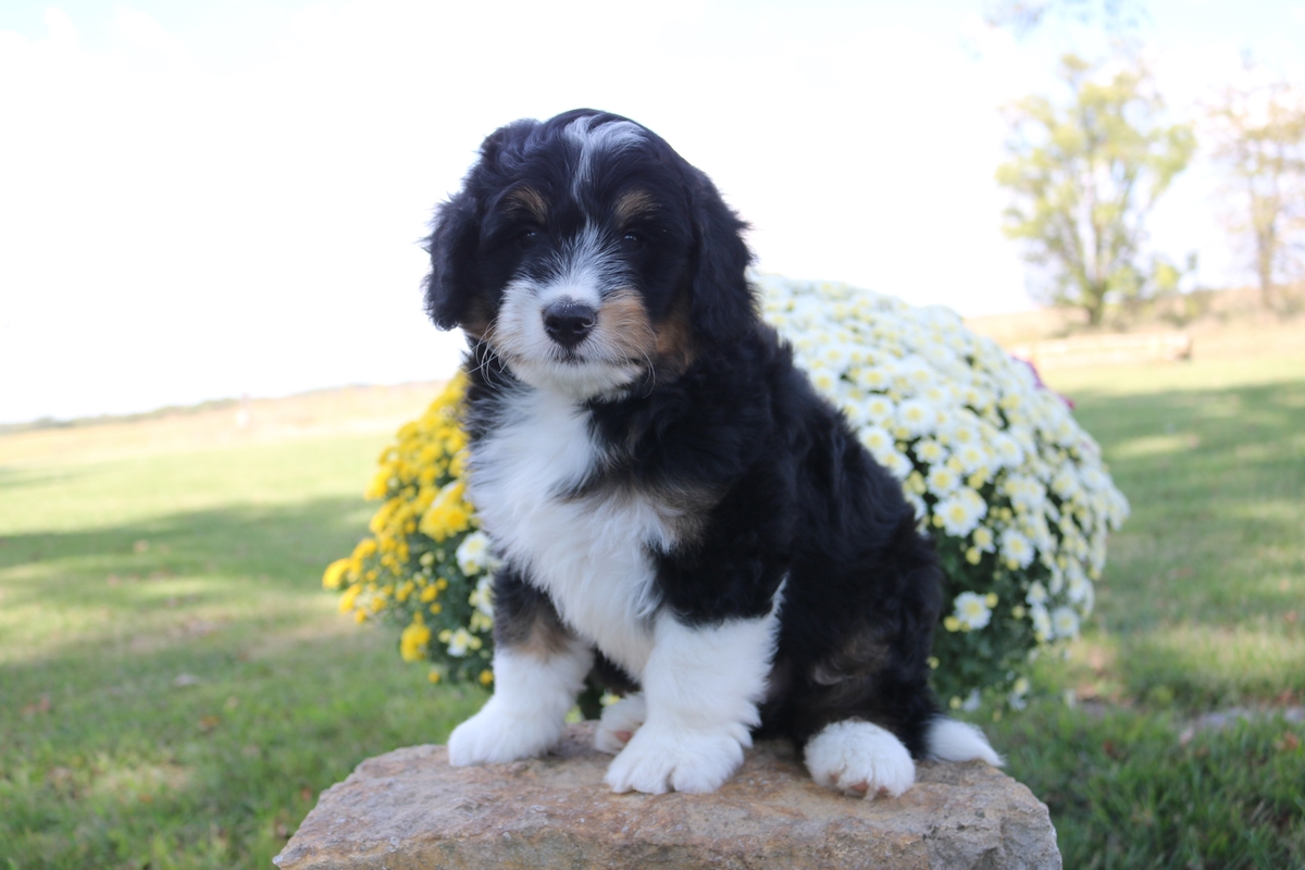 traditional black tri miniature bernedoodle puppy