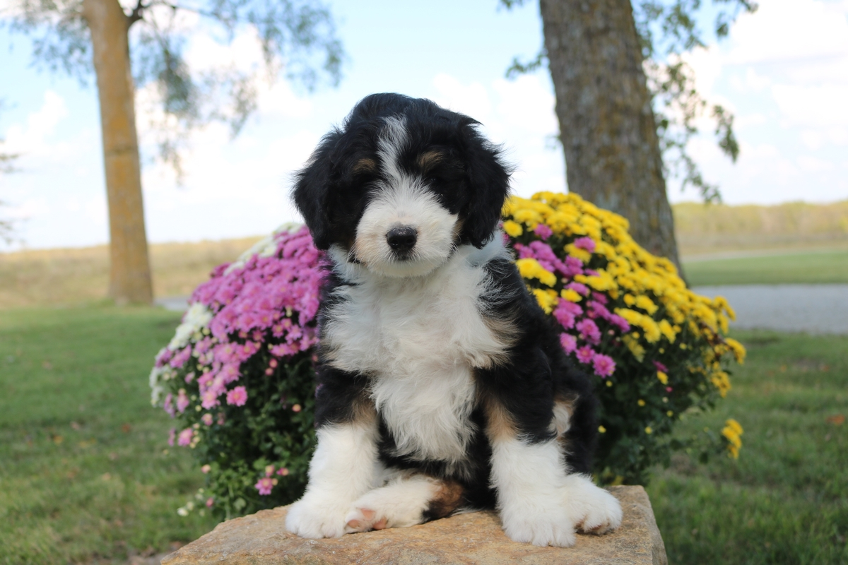 black tri color bernedoodle
