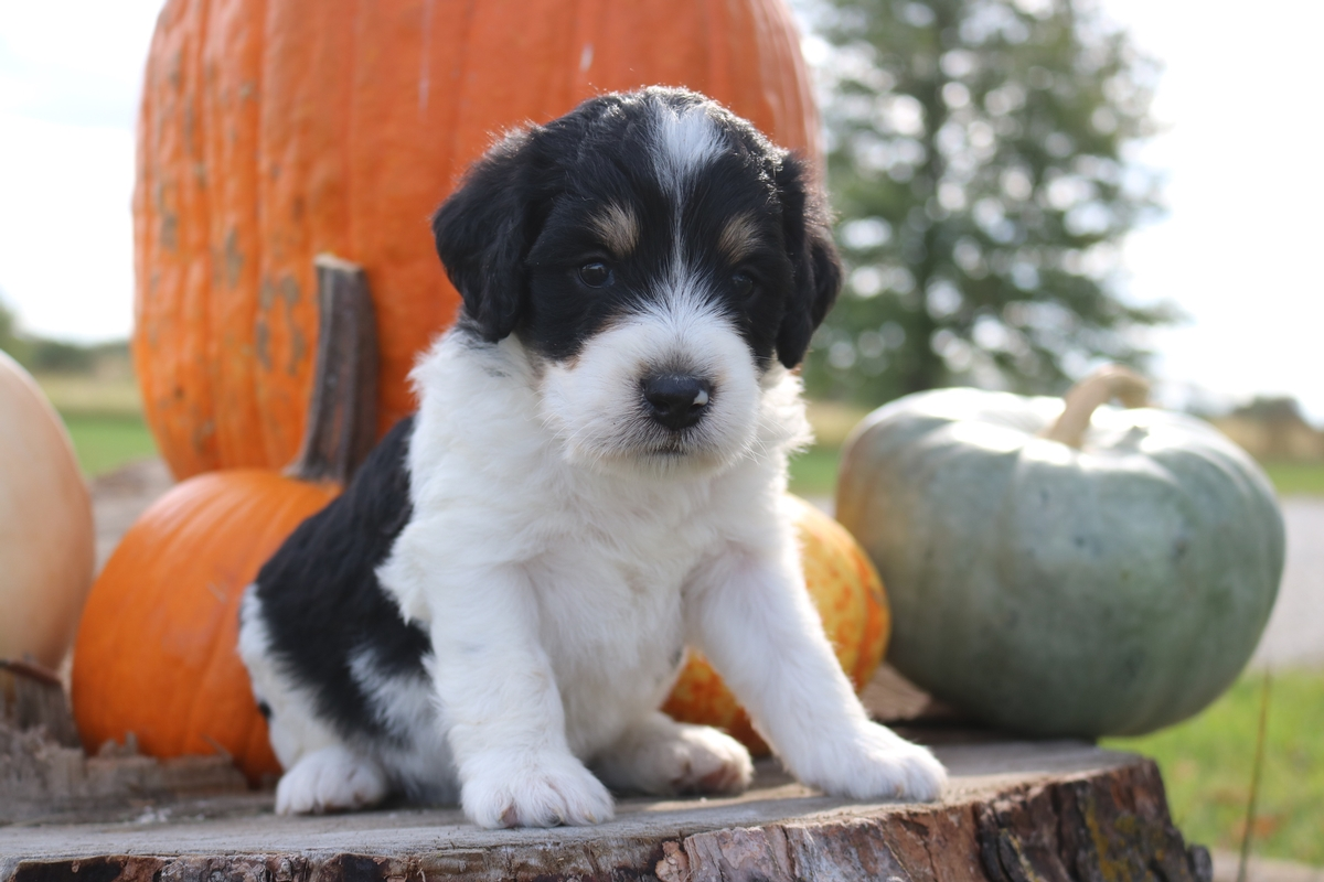 f1B tri color mini bernedoodle