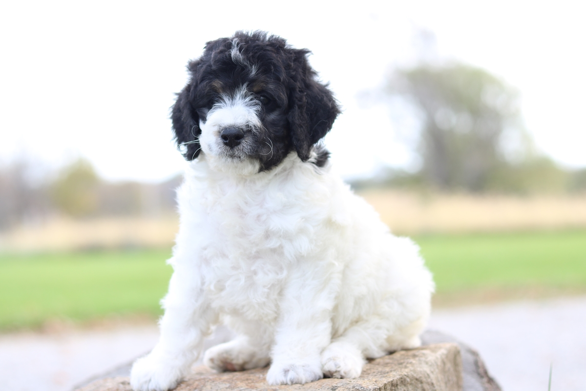 F1b Micro Mini Bernedoodle Puppy