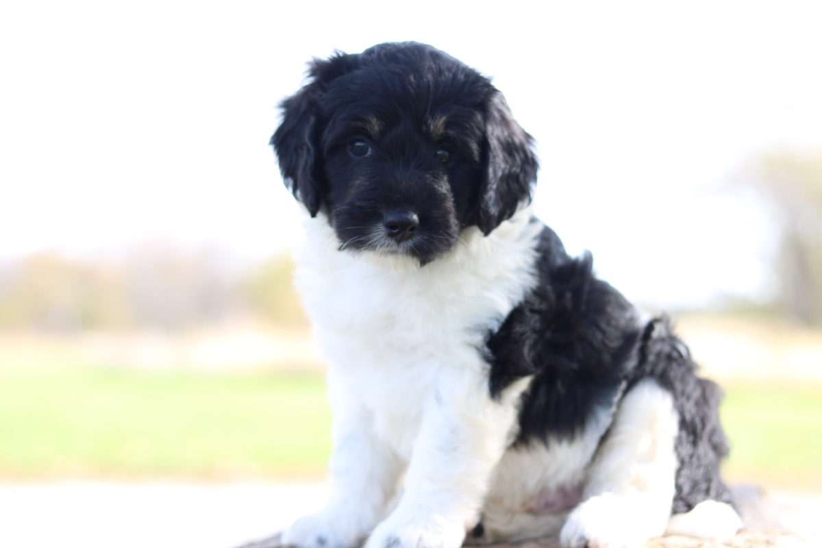 bernedoodle puppy forsale