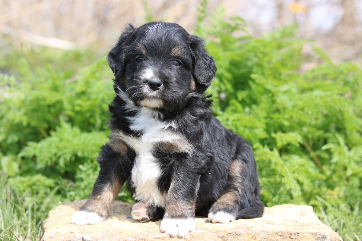 mini bernedoodle puppies for adoption