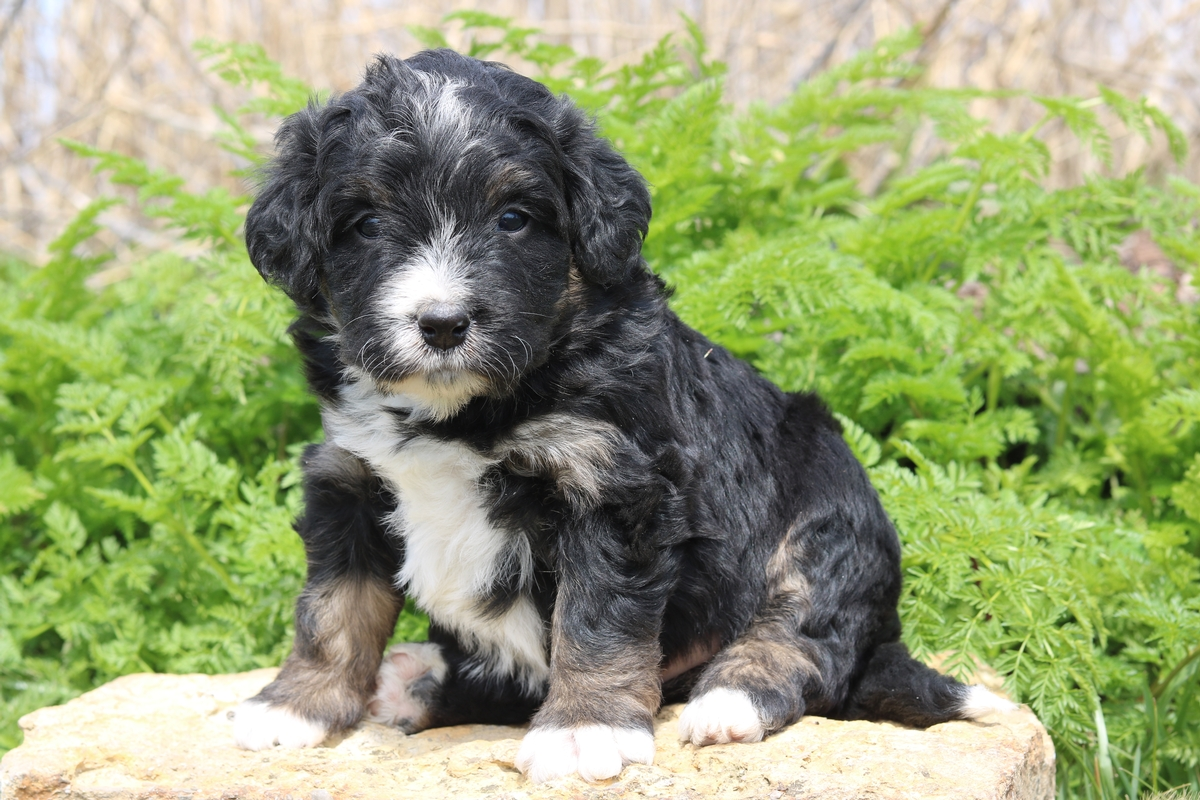 micro mini bernedoodle puppy for sale