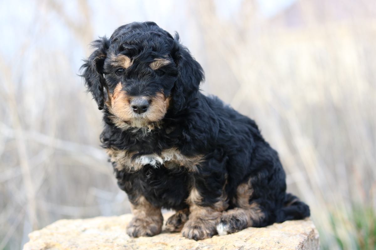 f1b bernedoodle puppy