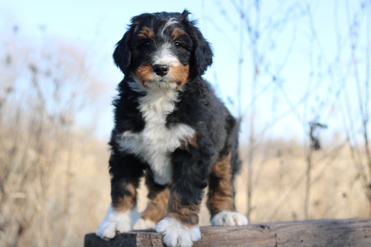 Standard Bernedoodle Puppies Available