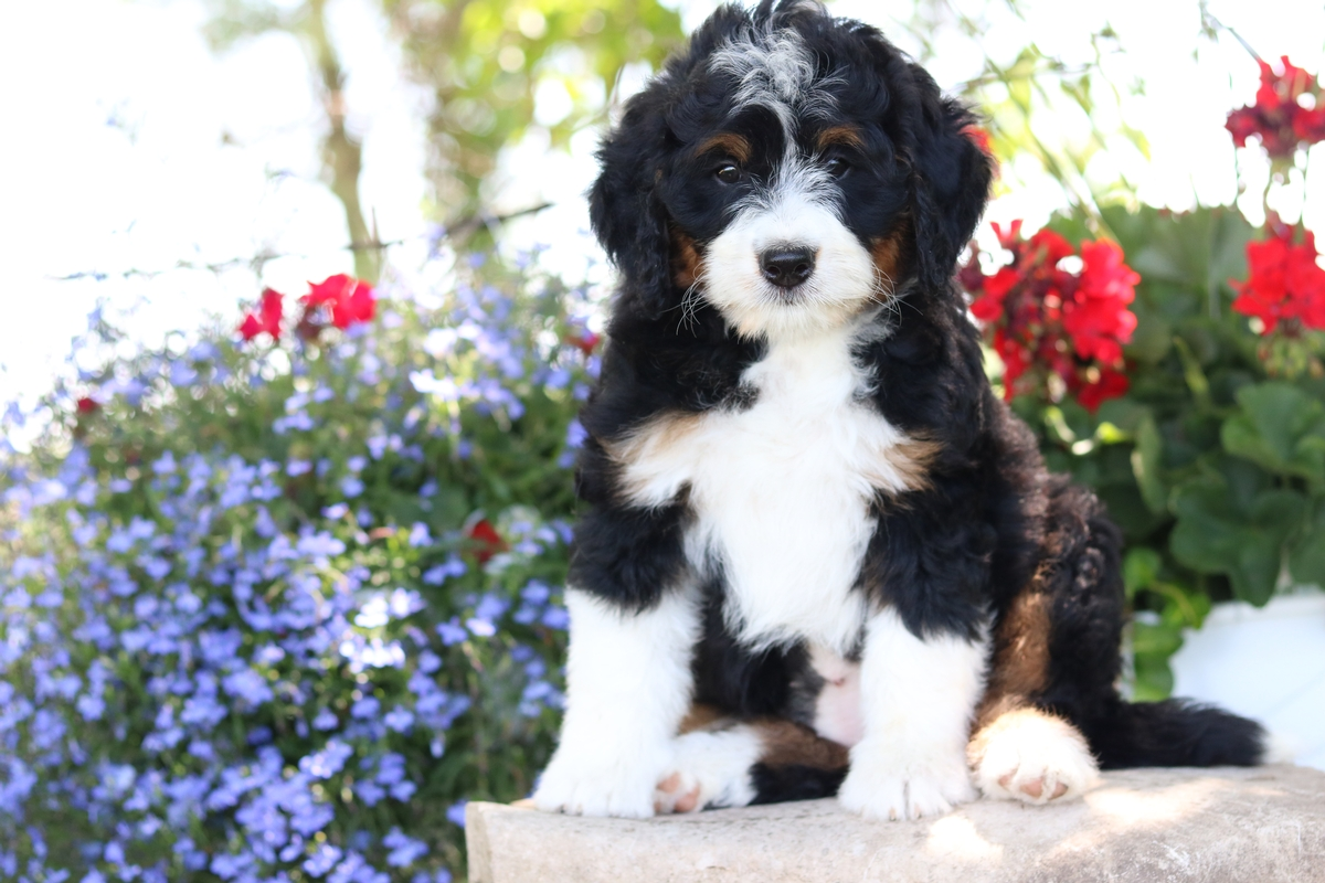 Black Tri Mini Bernedoodle Puppies For Sale