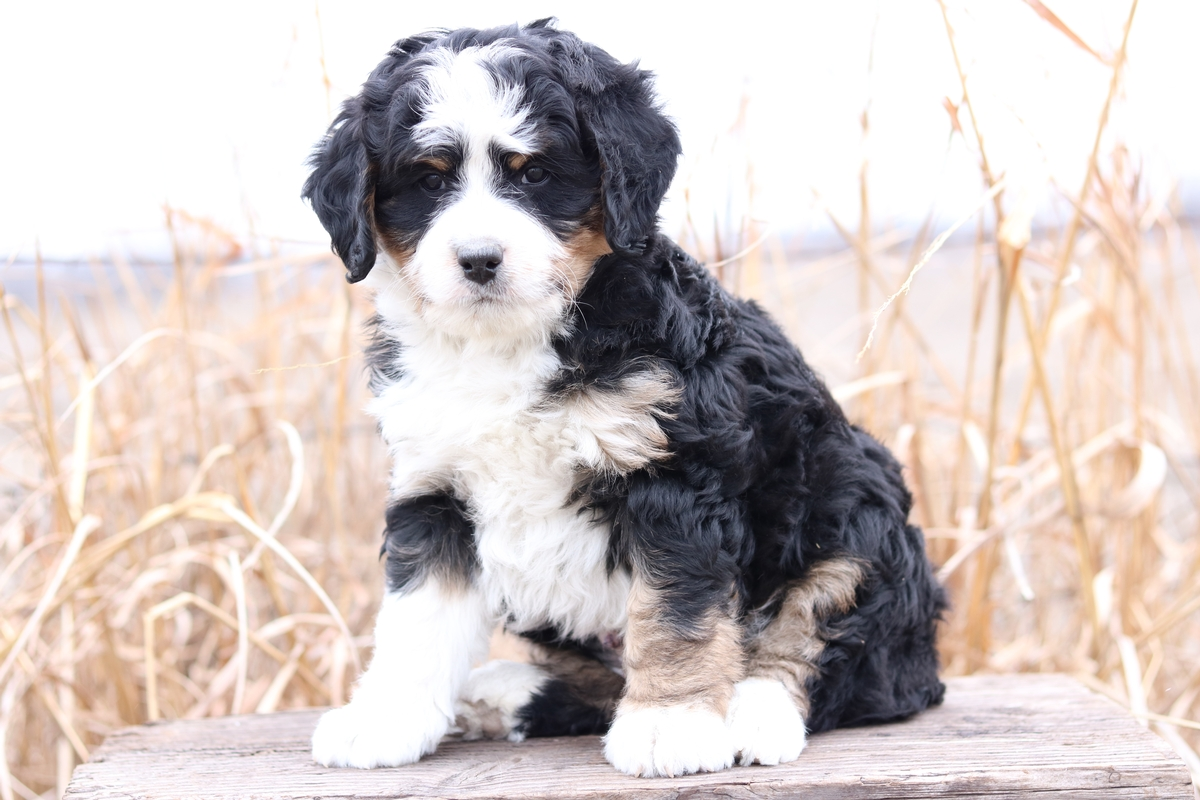 Mini Bernedoodle Puppies For Sale Mini Bernedoodle