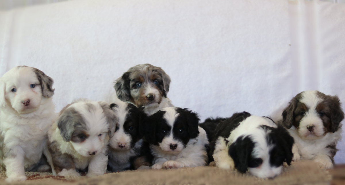 Tri Color Merle Mini Bernedoodles