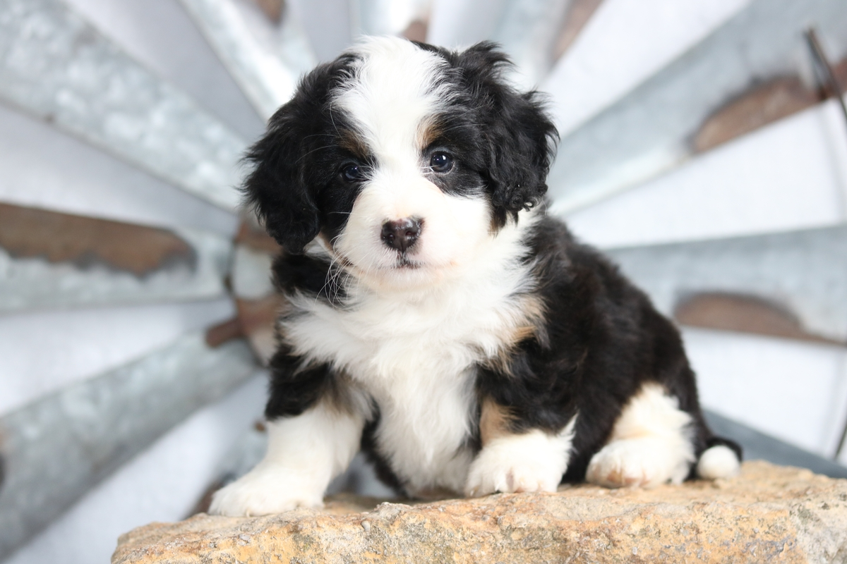 Merle Tri Mini Bernedoodle Puppies For Sale Keiraandzues