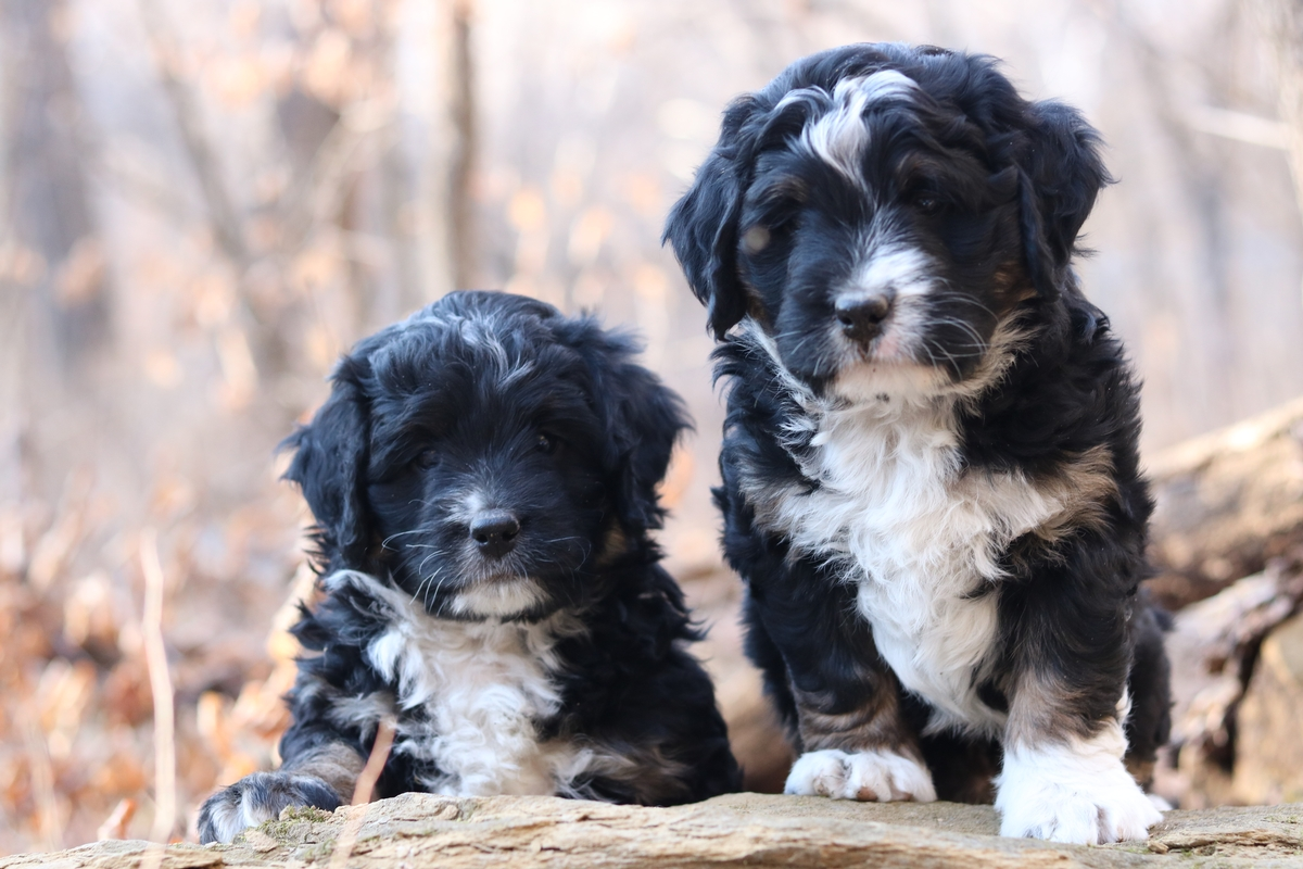 mini bernedoodle puppy forsale