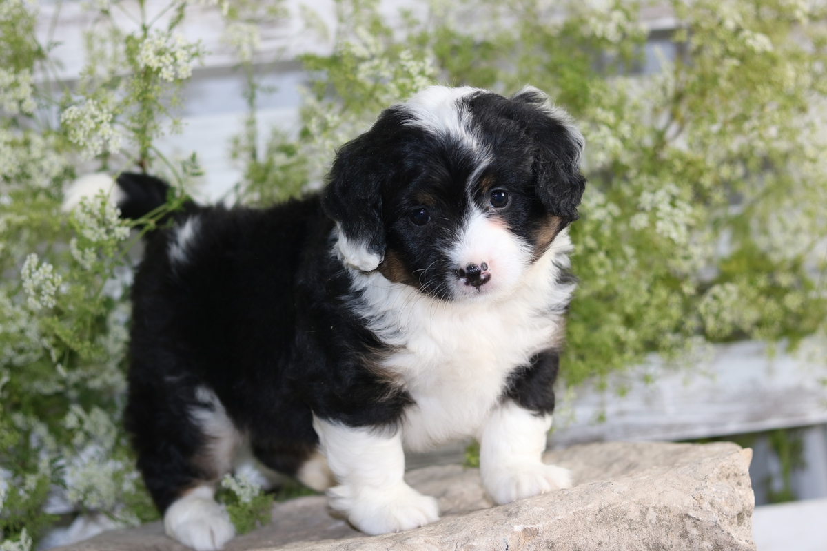 tri color mini bernedoodle puppy dogs