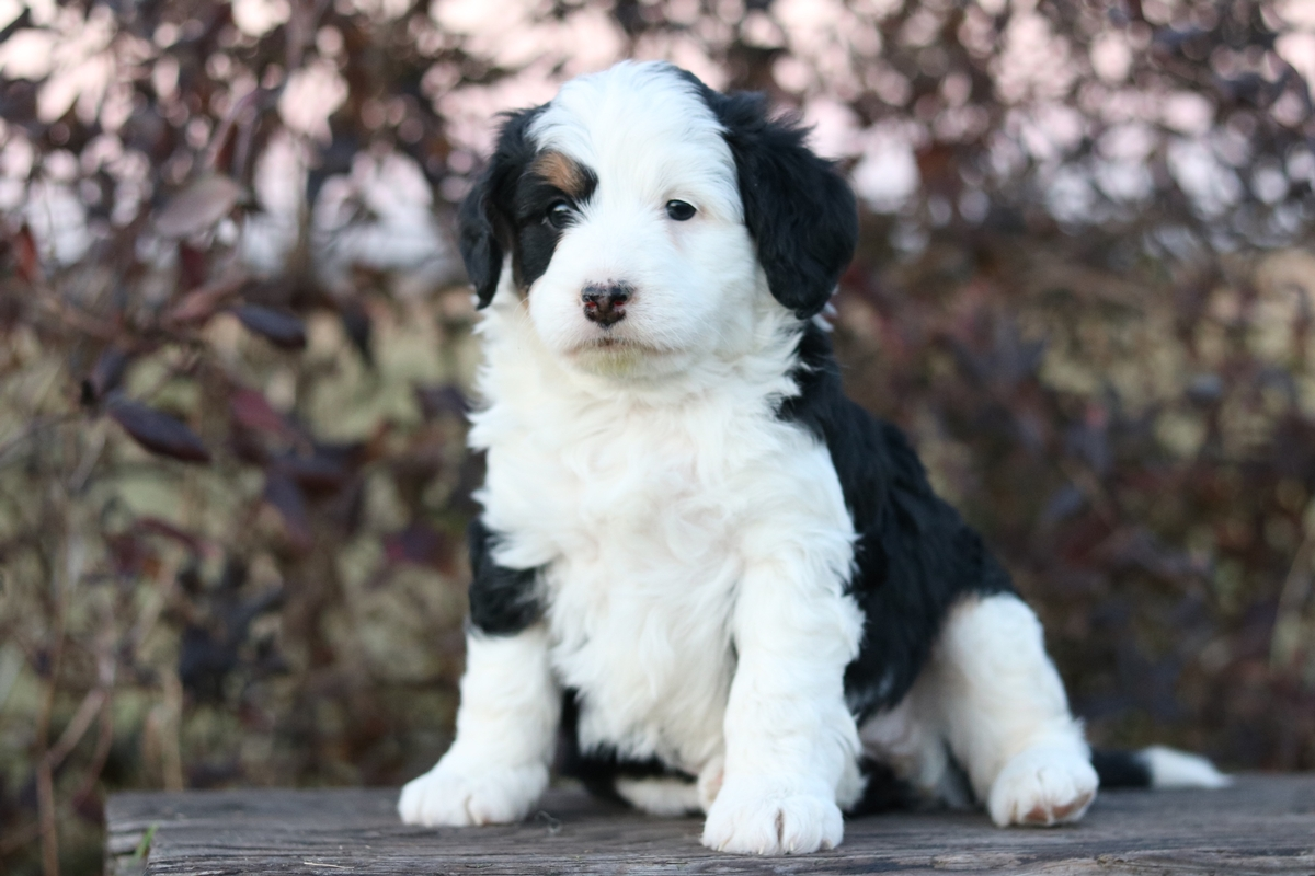 tri color mini bernedoodle puppy photo