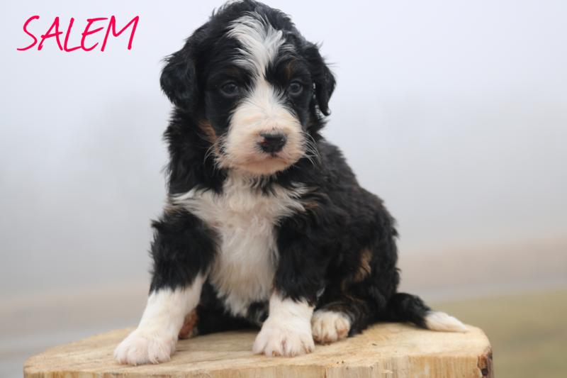 Standard Bernedoodle puppies , past litter  S-A 2