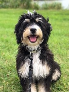 Standard Bernedoodle Breeder Standard Bernedoodle Puppies