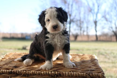 Mini Bernedoodle Puppies For Sale Mini Bernedoodle Breeder