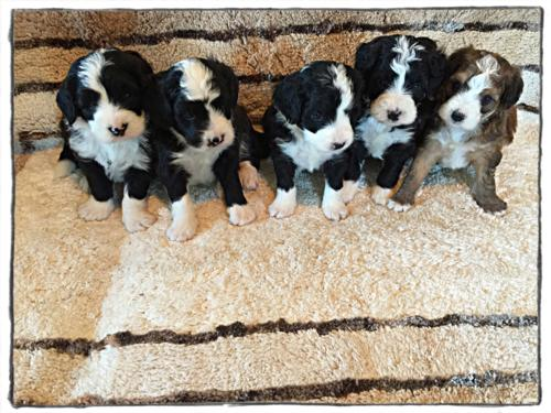 Past mini bernedoodle litter M-D