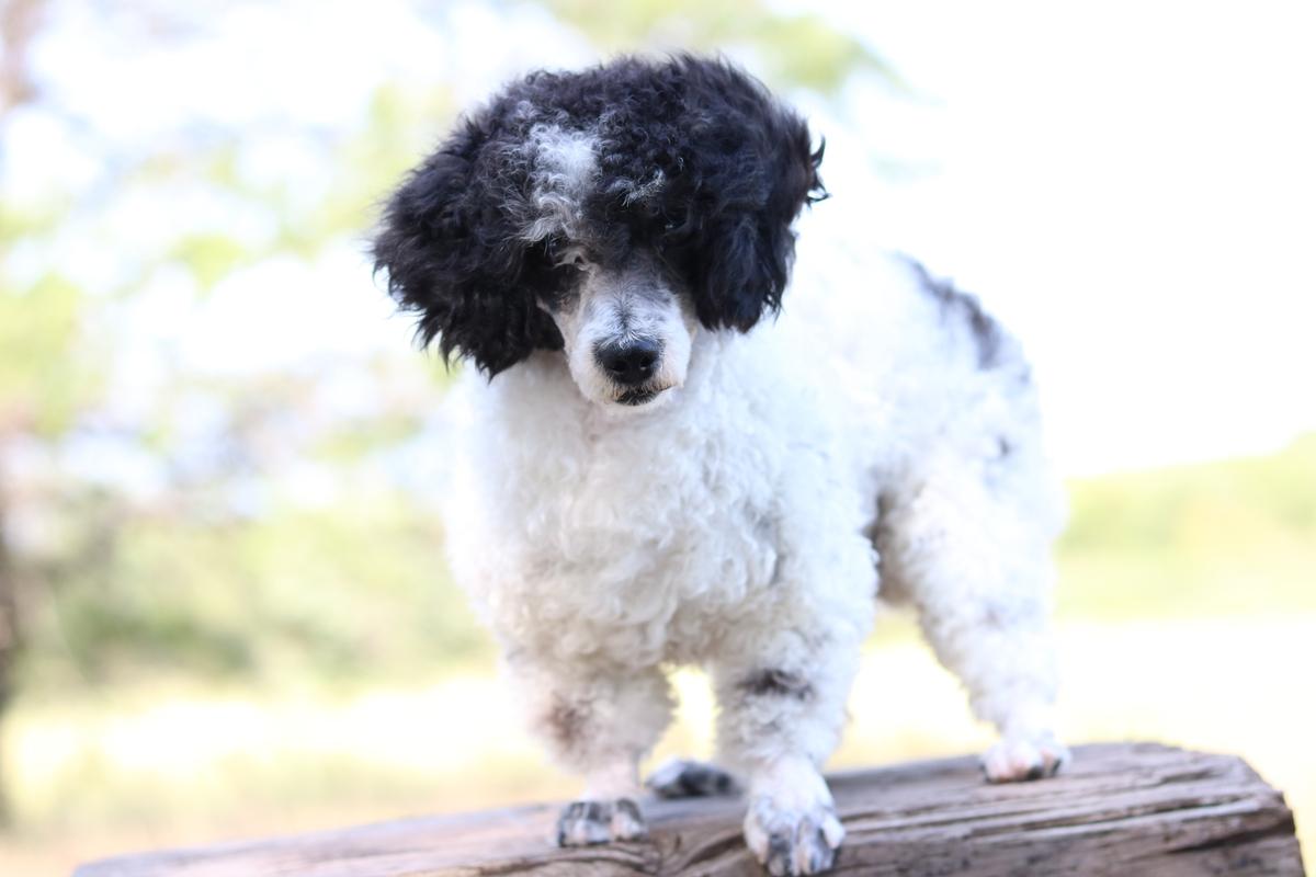 Mini Bernedoodle Puppies For Sale | Mini Bernedoodle Breeder