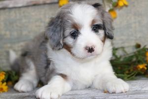 Mini Bernedoodle Puppies For Sale Mini Bernedoodle Breeder