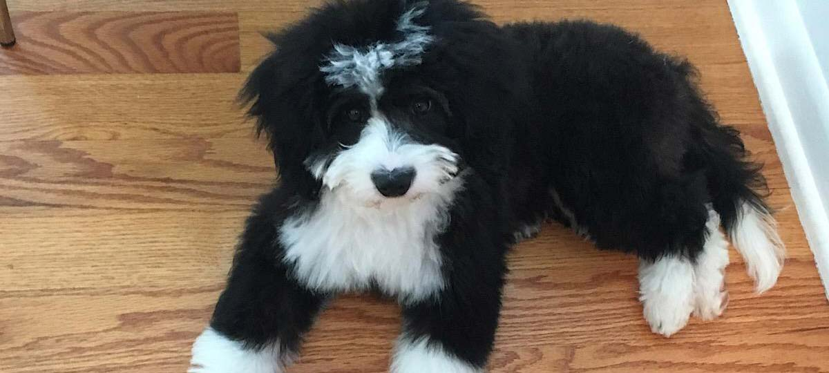 Mini Bernedoodle Breeder