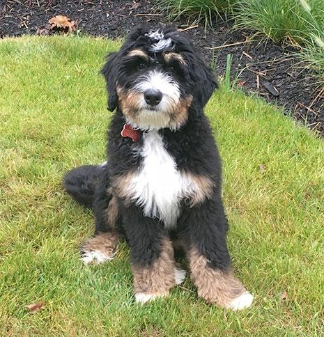 Standard Bernedoodle Breeder Standard Bernedoodle Puppies For Sale