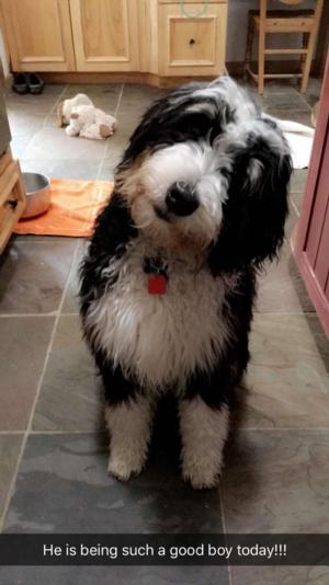 <p>Small Standard black Tri bernedoodle, first generation. F1&nbsp;</p>