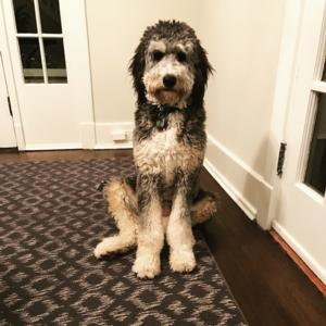 <p>Silver Tri F1 standard bernedoodle </p>
