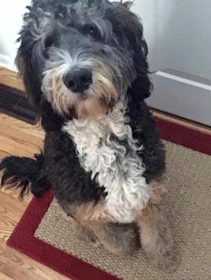 <p>&nbsp;Standard Black Tri bernedoodle , it appears that this boy is starting to silver as he matures.&nbsp;</p>