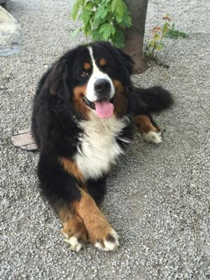 This is our big European imported boy, Djengo ! Bernese Mountain Dog